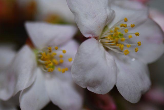Sakura_e